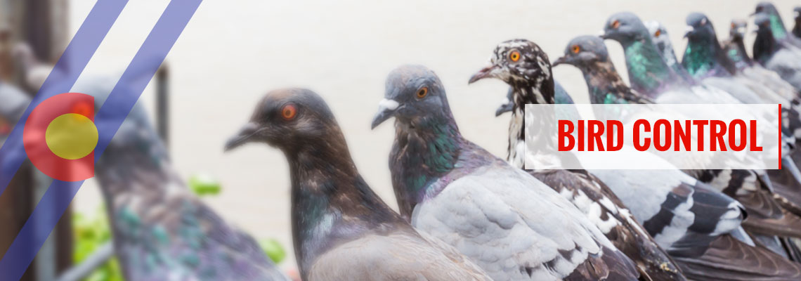 丹佛最好的鸟类控制