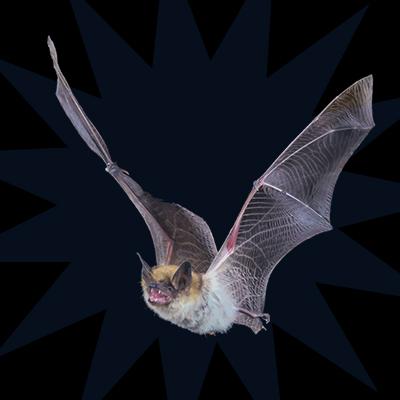 bat removal services bat control