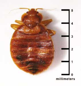 bed-bug-size-millimeters-_2