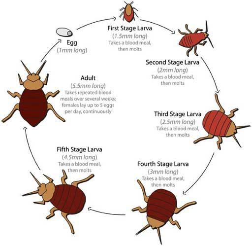 bedbuglifecycle_t512x500-160616-_2