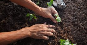 Closeup of Hands Planting a Garden