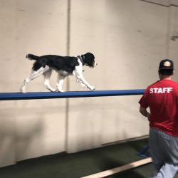 Dog walking across balance beam