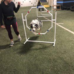 Aussie dog running agility course