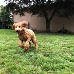 Golden Doodle dog runnning