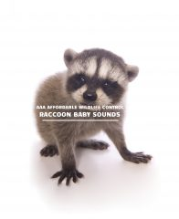 What Do Baby Raccoons Sound Like