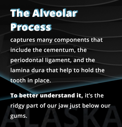 The alveolar process captures many components that include the cementum, the periodontal ligament, and the lamina dura that help to hold the tooth in place.  To better understand it, it's the ridgy part of our jaw just below our gums.