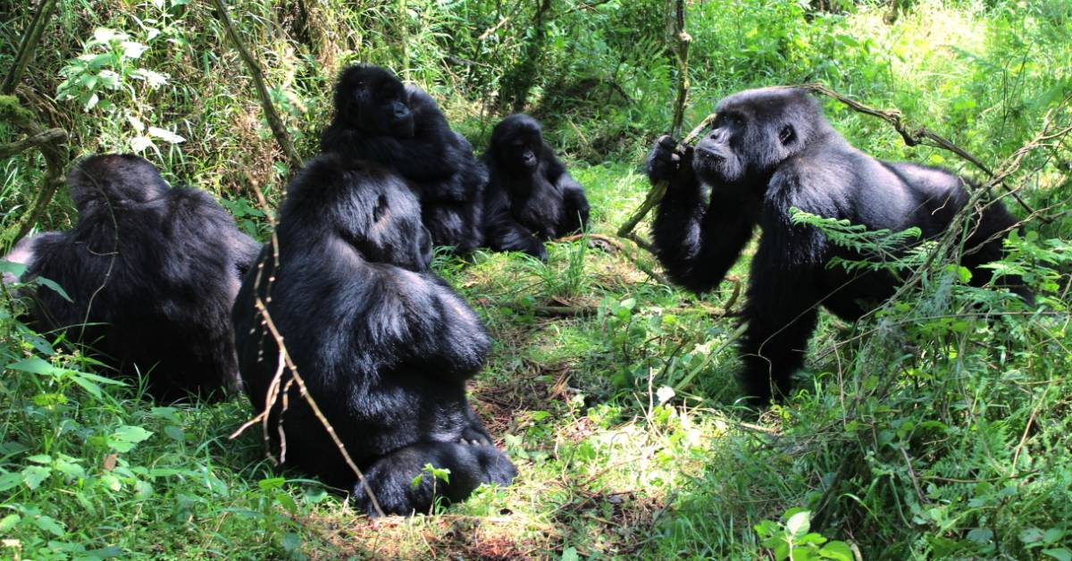 An image of a troop of gorillas.