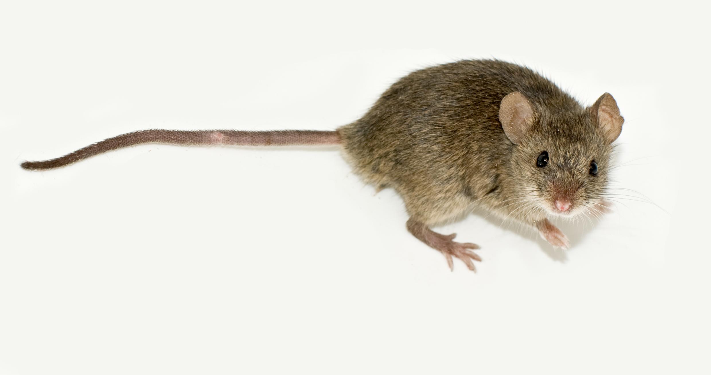 Rat Control Temecula Rat Control Hemet Rat Removal San