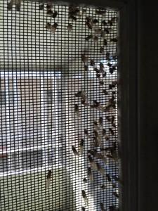 Drywood Termite Swarmers