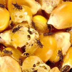 Pantry Pests Hemet Pantry Pest Removal San Jacinto