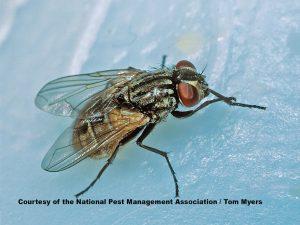 NPMA house fly