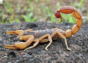 Scorpion_Photograph