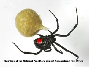 black widow spider pest world