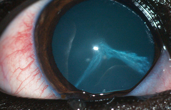 Animal eye care can be tricky to identify, so make sure to call a veterinary eye specialist.