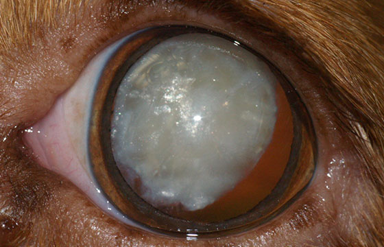 Cataracts in dogs can be treated, so be sure to call a dog eye specialist as soon as possible.