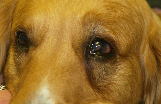Take care of your dogs glaucoma by contacting our dog eye specialist if you notice anything wrong.