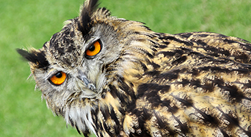 Brown and tan owl with orange eyes - Animal Eye Associates