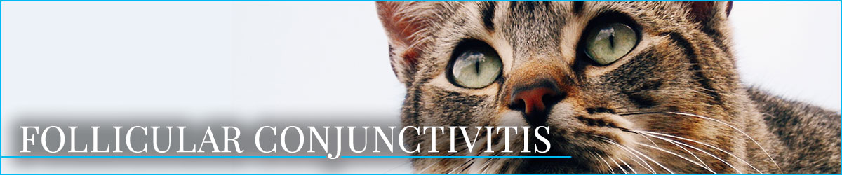 Feline Eye Conditions Learn What They Are Animal Eye Associates P A