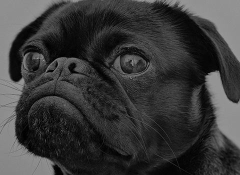 Closeup of a black pug with brown eyes