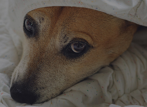 A white and tan dog poking his head out of a blanket