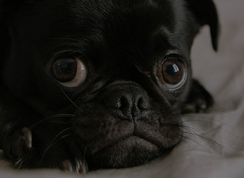 A closeup of a black pug with brown eyes