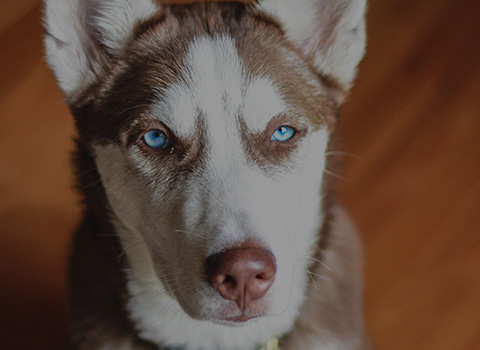 A white and brown husky with bright blue eyes