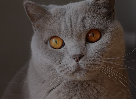A grey cat with big, orange eyes