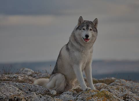 A grey and white husky sitting on a beach