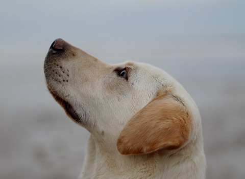 A closeup of a tan labrador retirever, looking up at the sky