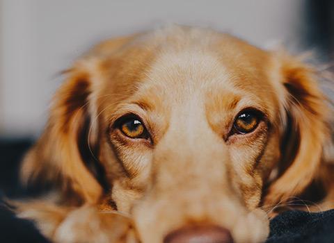 A long-haired tan dog staring at the camera