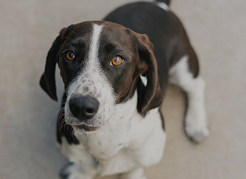 A brown and white hound dog