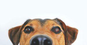 A closeup of a beagle's face