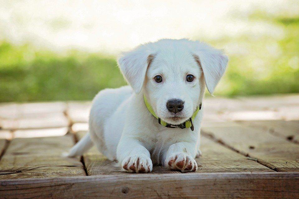 puppy-dog