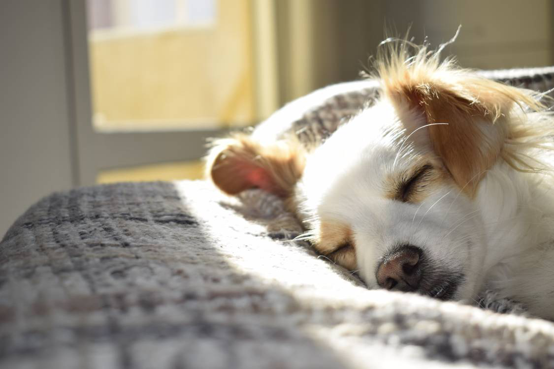 A white dog sleeping on a gray textile.