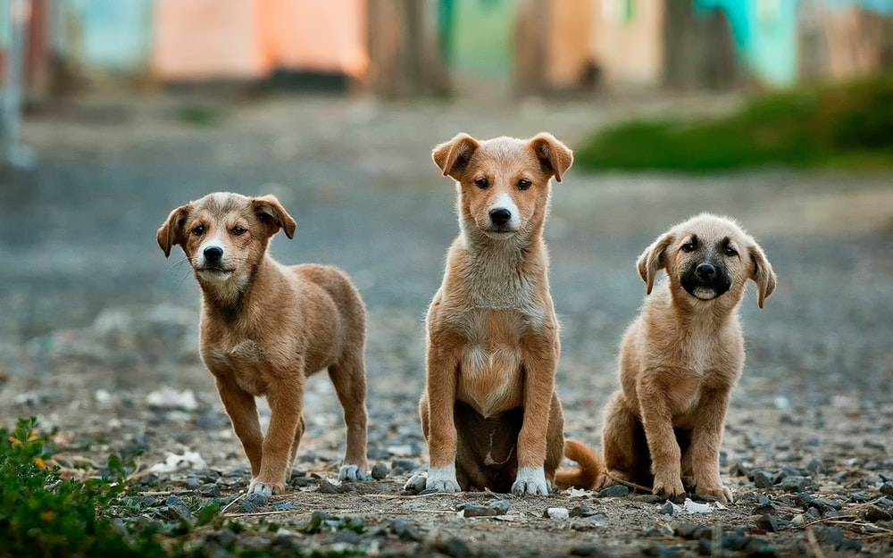 Three brown puppies in a street