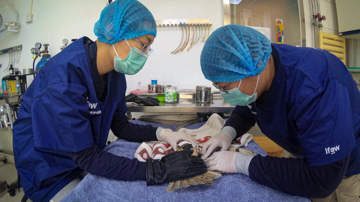 Two veterinarians operating on a bird