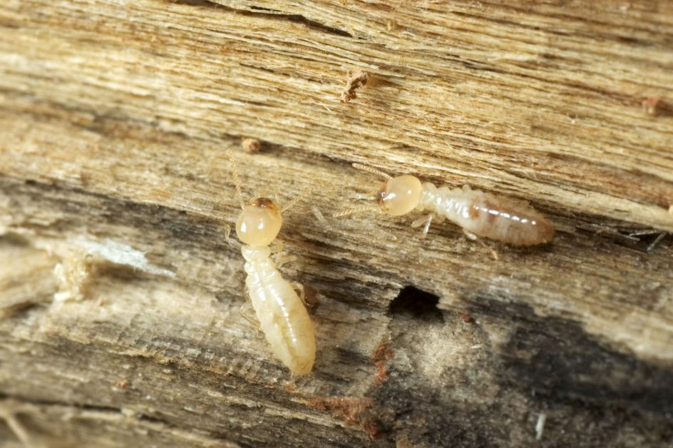 Subterranean Termites on Wood