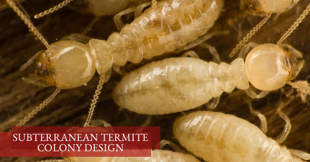 Subterranean Termite Colony Design
