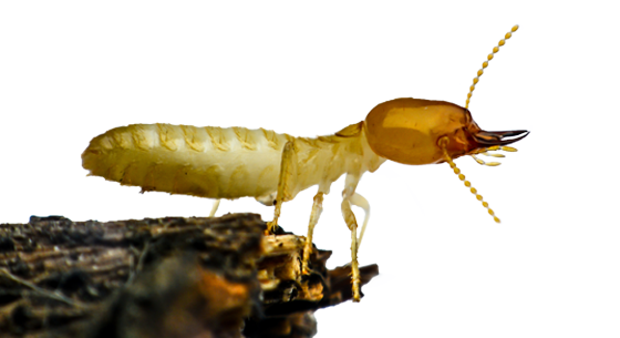 Single Termite Closeup