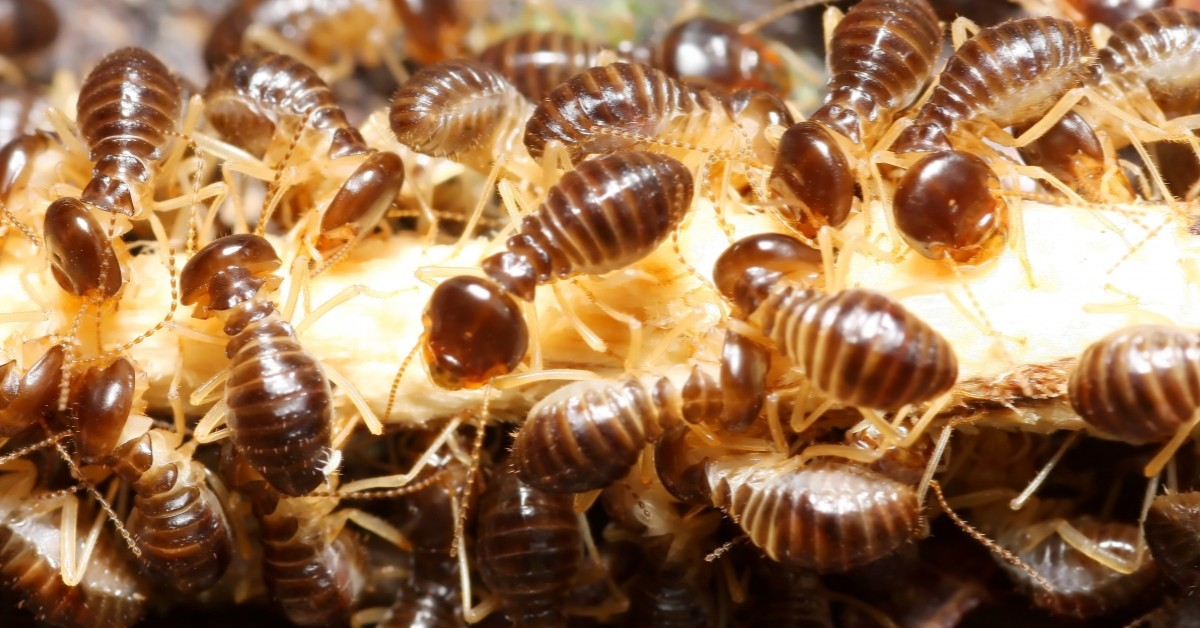 Colony of Termites
