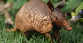 Armadillo Closeup