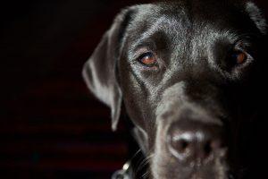 hearing loss guide dog