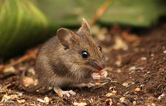 Rodent Pest Control Austin
