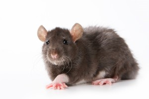 Rat Pest Control | Rat Exterminating