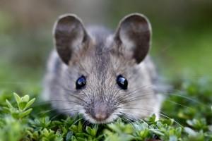 Mice Control | Mice Extermination