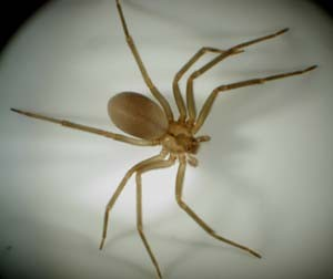 Brown Recluse Spider | Organic Pest Control