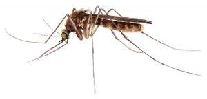 mosquito regular