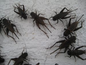 Field Crickets Aztec Organic Pest Service low toxicity