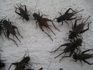 Field Crickets Aztec Organic Pest Service low toxicity