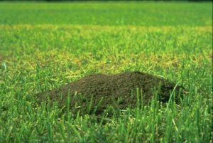 Mounds are more likely to be seen after rainfall